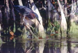Green Heron feeding, Photo by Brent VanFossen