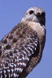 Red-shouldered Hawk, photo by Brent VanFossen