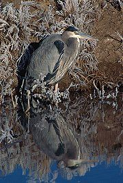 Frost covers a heron as it stands along the lake shore, Bosque del Apache, New Mexico, photograph by Brent VanFossen
