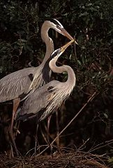 Herons pass sticks to each other as they build their nest in Florida, photo by Brent VanFossen