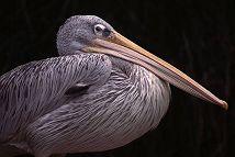 White Pelican, Florida, photo by Brent VanFossen
