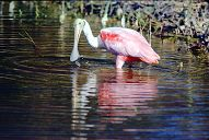 Roseate Spoonbill, photo by Brent VanFossen