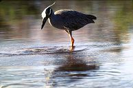 Yellow-crowned Night Heron, photo by Brent VanFossen