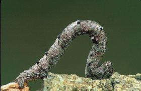 Inch worm, photograph by Brent VanFossen