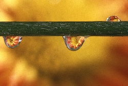 Water drops on a flower stem highlight the flower in the droplet, photograph by Brent VanFossen