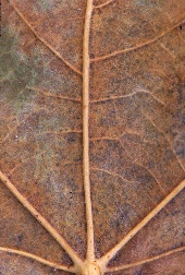 Closeup of a brown leaf and its veins, photograph by Brent VanFossen