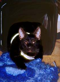 Dahni the blind traveling cat in his traveling carrier, photograph copyright Lorelle VanFossen