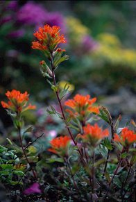 Indian paintbrush as a vertical, photo by Brent VanFossen