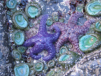 Purple starfish, Strawberry Hill tidal pools, near Yachats, Oregon, photography by Lorelle VanFossen