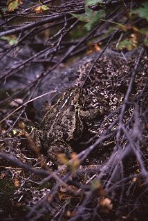 Frog camouflaged against a lichen covered rock, photograph by Lorelle VanFossen