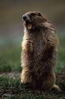 Marmot screaming, Olympic National Park, photo by Brent VanFossen