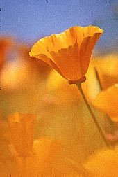 Poppy with the foreground blurred by another flower, photograph by Brent VanFossen