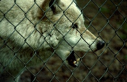 When the story is of the zoo and enclosure, include it like with this wolf rubbing against the fence at Wolf Haven, photograph by Lorelle VanFossen