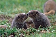 Marmot babies kissing and sniffing each other, photograph by Brent VanFosen