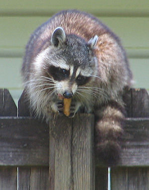 Raccoon eats a peanut on the fence, photograph by Lorelle VanFossen