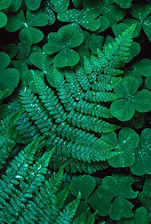 Combination of jagged fern against round clover, photograph by Brent VanFossen