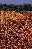 Orange Persimmons, Israel, photograph by Brent VanFossen