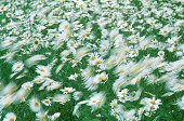 Wind blows the daisies around, photograph by Brent VanFossen