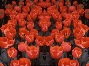 Red Tulips PhotoQuilt I, photo by Brent VanFossen