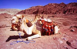 Camel rides through the ruins of Petra are very popular, photo by Brent VanFossen
