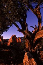 Spending time at the Gardon of the Gods, Colorado Springs, Colorado, Brent found some trees that seemed to echo the shapes of the peaks. Photo by Brent VanFossen