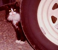 Toshi loves rubbing against the tires and resting under the cool shade of the trailer. Photo by Lorelle VanFossen