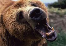 bearthebacka