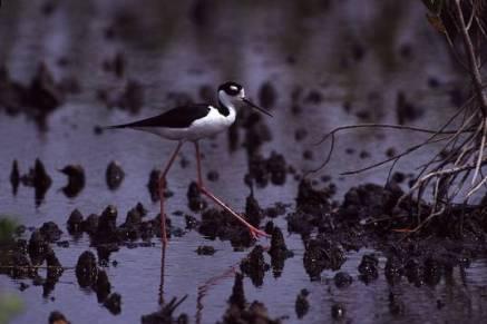 birdlonglega