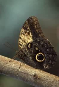 butterflyowla