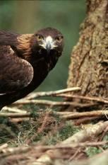 eaglegoldena