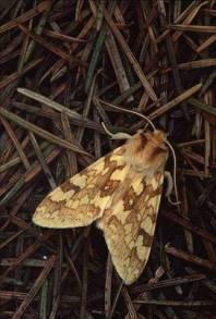 moth1a