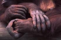 orangatan hands, mother and child, photograph by Lorelle VanFossen