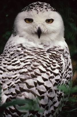 snowowla