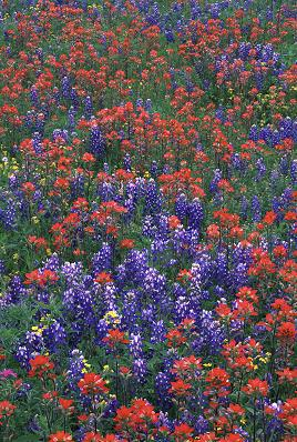 texwildflowers1a