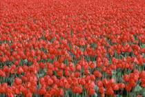 tulipfielda