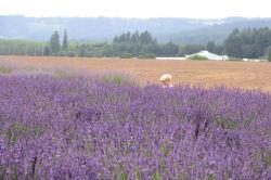 lavender festival 2009 (17)