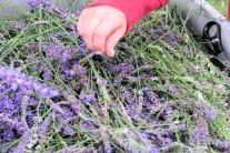 lavender festival 2009 (27)