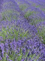 lavender festival 2010 (36)