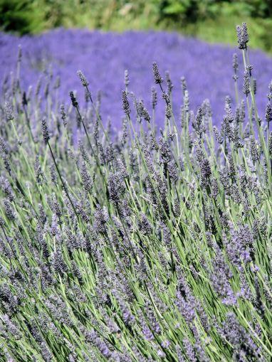lavender festival 2010 (54)