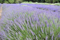 lavender festival 2010 (58)