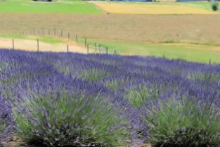 lavender festival 2010 (6)