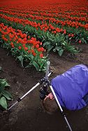 Duane Hansen in the mud photographing tulips closeup, Skagit Valley, Washington.