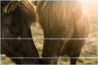 Horses in Iceland at Sunset
