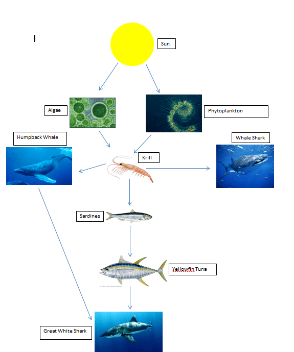 great white shark food chain diagram doerr electric motor wiring web respect the aina