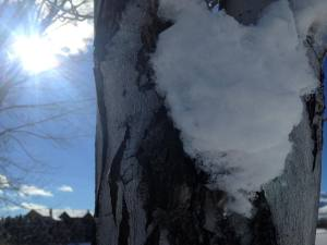 Snow on Tree with Sun in Background 2017