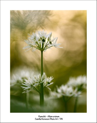 Ramslök-Allium ursinum