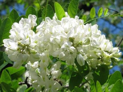 2805056-acacia-blossom