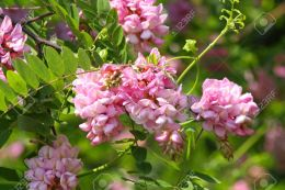 5017377-Close-up-of-the-cluster-of-a-pink-acacia-blossoms-Stock-Photo