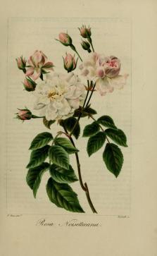 gravures_fleurs_utiles_et_agreables_40023_rosier_de_noisette_-_rosa_noisettaeana