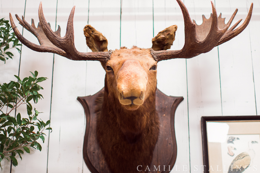 moose head on a wall